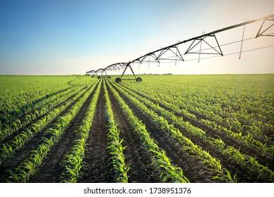 Grünes Maisfeld im Frühjahr mit Bewässerungssystem für Wasserversorgung, Sonnenuntergang