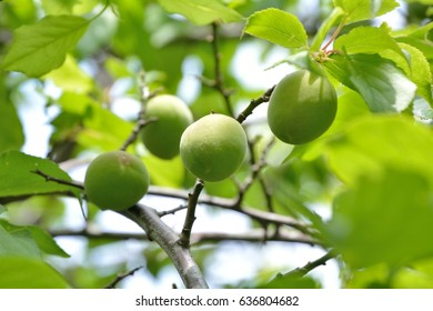 Green young fruits of the japanese apricot or Prunus mume (Ume in japanese)