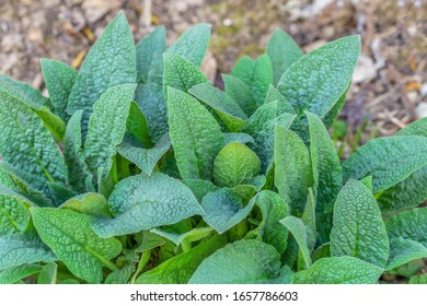 Green young leaves of comfrey,Symphytum Asperum.Selective focus.Concept of usefulness of plants in medicine, fertilizer for the garden.