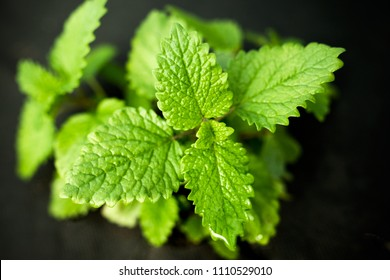 green young leaves of lemon balm plants for tea and therapy in the garden