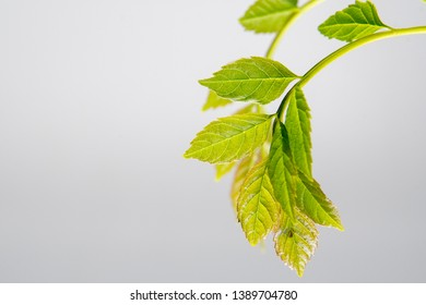 Green young leaves on white backgound