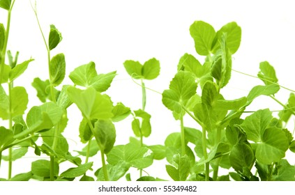 green young pea shoots isolated on white