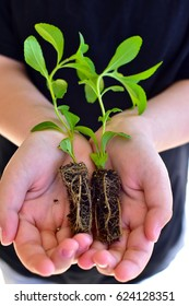 Green  young seedling stevia plant for planting