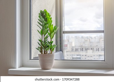 Green Zamioculcas plant on the windowsill of a sunlit room, in the distance the urban background, many residential buildings