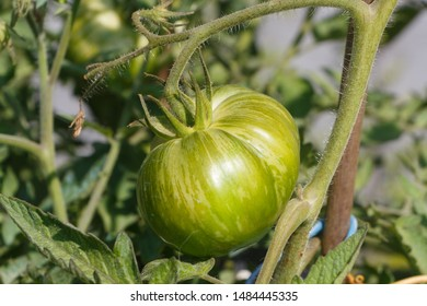 Green zebra tomato ripening in a vegetable garden during summer