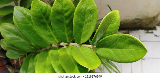 green zz plant leaves photography