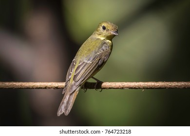 Green-backed Flycatcher in Thailand