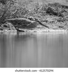 Green-backed heron fishing in shallow water