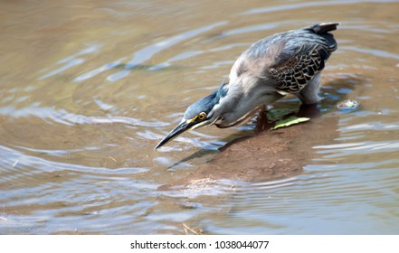 Greenbacked Heron, Kruger National Park, South Africa.