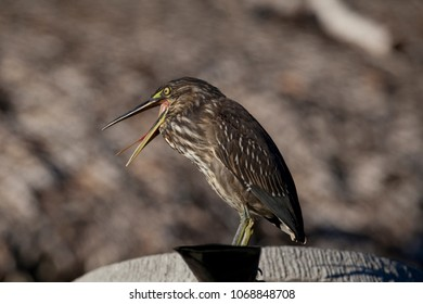 Green-backed Heron yawning