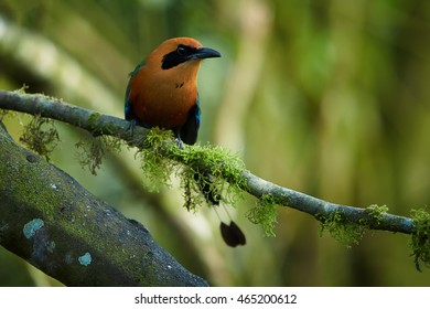 Green-blue and cinnamon colored rainforest bird, Baryphthengus martii martii, Rufous Motmot, perched on mossy twig, front view, blurred green trees in background. West andean slopes, Ecuador.