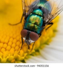 A greenbottle collects pollen from an ox eye daisy.