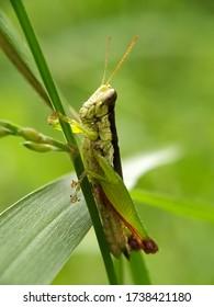 A green-brown grasshopper is alighting on a grass stem.