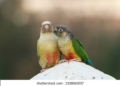 The green-cheeked parakeet or green-cheeked conure (Pyrrhura molinae) is a small parrot of the genus Pyrrhura