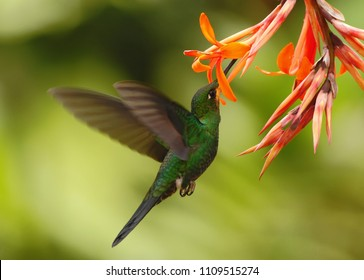 Green-crowned brilliant, Heliodoxa jacula, hovering next to red flower in garden, bird from mountain tropical forest, Savegre, Costa Rica, natural habitat, beautiful hummingbird sucking nectar, flight