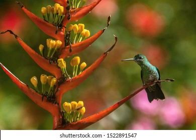 The Green-crowned Brilliant, Heliodoxa jacula is sitting on the flower prepared to drink the nectar, amazing colored hummingbird, amazing picturesque green background