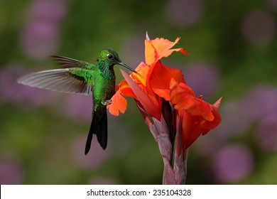Green-crowned Brilliant Hummingbird flying next to beautiful orange flower with ping flowers in the background.