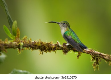 Green-crowned woodnymph Thalurania colombica fannyi female hummingbird, perched on mossy twig in Colombian rainforest.