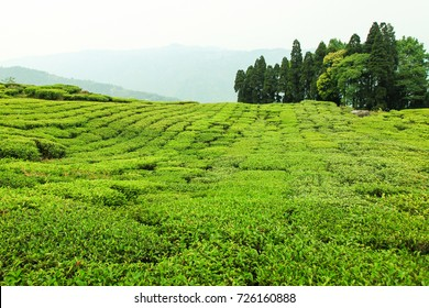 Greenery tea plantation in Darjeeling / Tea Plantation, Darjeeling, India