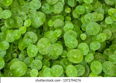 Greenery umbrella shape leaf of Water pennywort with raindrops on circle leaves, this plant know as Marsh Penny or Indian pennywort, Top view closeup image