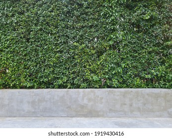 Greenery walls on the cement seat. The tree wall is used for decorate the garden.