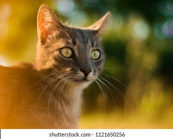 Green-eyed cat in the sunset
