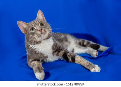 Greeneyed gray  cat with white chest lying on blue background and look upward. Studio cat portrait.
