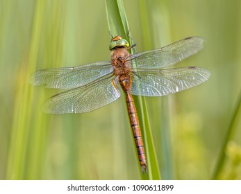 Green-eyed hawker dragonfly (Aeshna isoceles) resting on reed with blurred green background