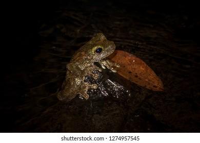 Green-eyed tree frog (Litoria serrata)