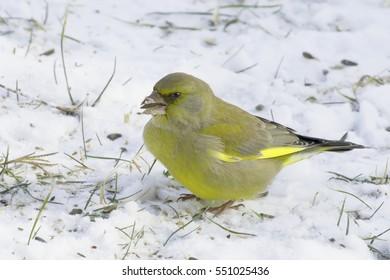 Greenfinch adult male in natural habitat in winter / Chloris chloris