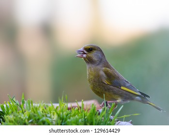 Greenfinch eating seeds