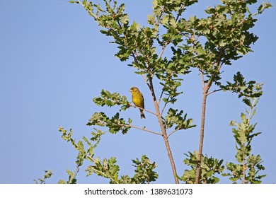 Greenfinch or green finch Latin name carduelis chloris proudly perched on a branch in an oak tree or quercus in Italy showing clear feather markings by Ruth Swan