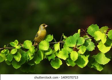 Greenfinch on brench of alder