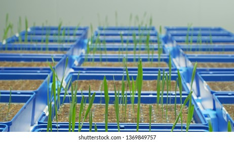 Greenhouse experimental cultivation technologically for scientific research of barley Hordeum vulgare and wheat Triticum durum, genetic science model material, seedlings plant flowerpot