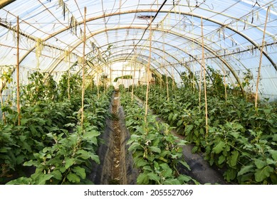 Greenhouse farms in state of Jijel, Algeria, growing eggplant cultivation in Africa, agriculture in North Africa, planting fresh vegetables, vegetable production in greenhouses, glasshouse hothouse.