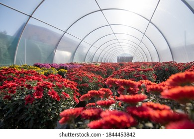 Greenhouse filled with fresh autumn chrysanthemums of different colours