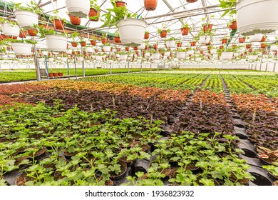 Greenhouse filled with young flower plants, plant nursery concept