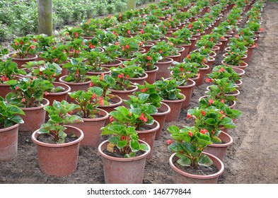 Greenhouse flowers cultivation