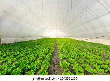 Greenhouse lettuce, green salad farming