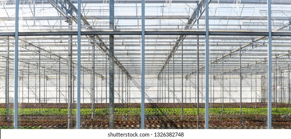Greenhouse with lettuce at Maasdijk on a sunny day in the Westland in the Netherlands.
