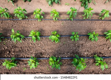 greenhouse with organic pepper plants and drip irrigation system - selective focus, view from above