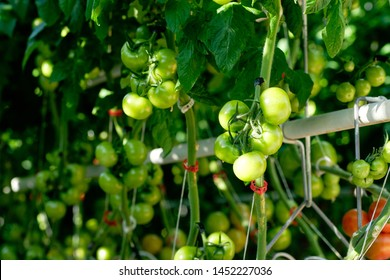 Greenhouse Path between Grown Tomatoes Plants. Growing Agricultural Green Unripe Vegetable. Eco Organic Rawfoodist Food Product Bush in Hothouse. Warm House Big Plantation of Raw Healthy Nutrition