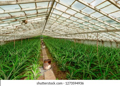 Greenhouse Pineapple Planting, Azores