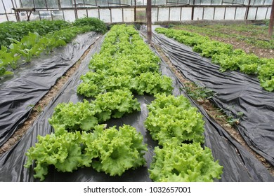 Greenhouse plant agriculture natural vegetable fresh