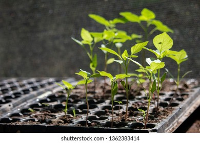 Greenhouse Plant Sprouts
