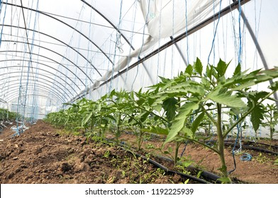 Greenhouse of polycarbonate, where organic tomatoes are grown with drip irrigation