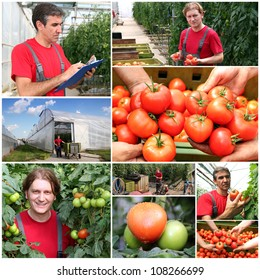 Greenhouse Produce. Farmer at work. Collage of photographs showing tomato growing in commercial greenhouse.