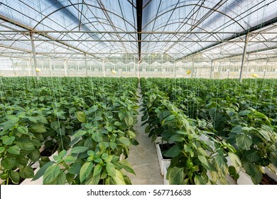 Greenhouse greenhouse soilless cultivation of vegetables