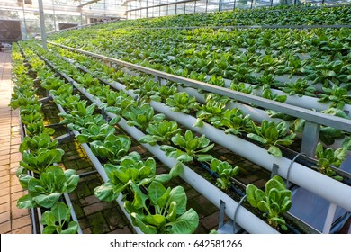 greenhouse vegetable factory