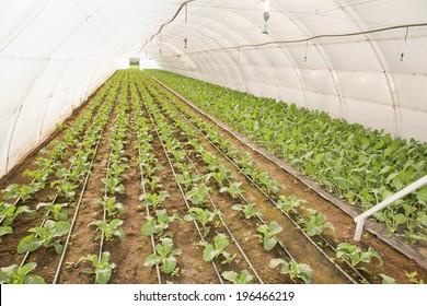 Greenhouse for vegetables and plant nursery -  kohlrabi